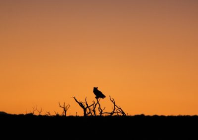 sunset silhouette owl